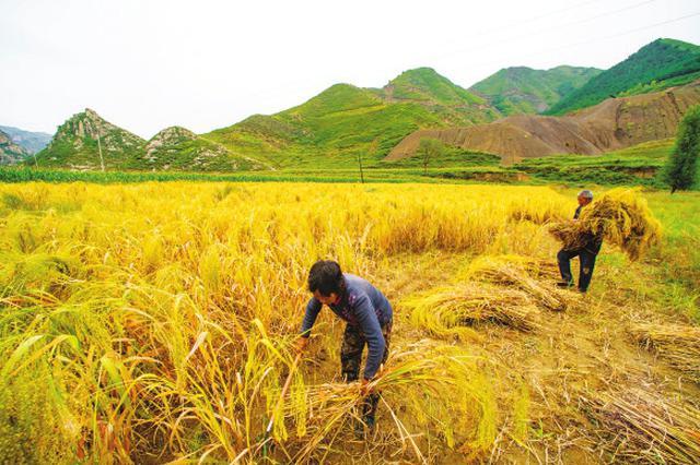山西粮食生产能力步步高 粮食总产比上年稳中有增