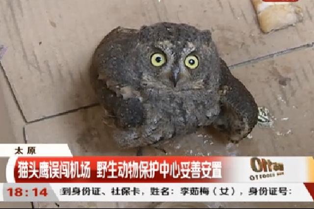 视频丨猫头鹰误闯机场 野生动物保护中心妥善安置