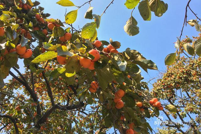 旅游丨云丘山柿子熟了 好一片丰收景象
