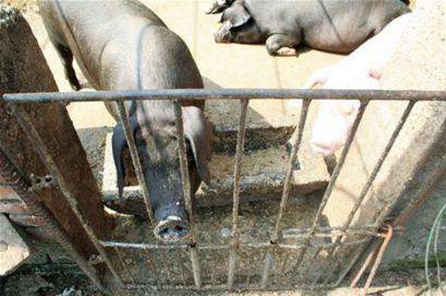 太原举报违规使用泔水喂猪可获奖励3000元