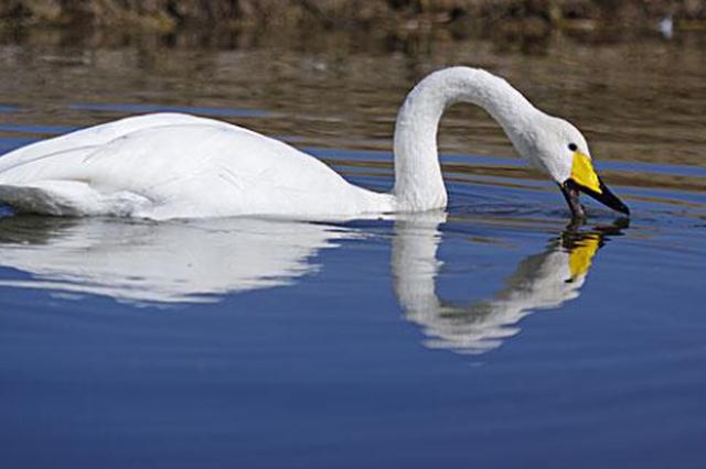 """山西圣天湖迎来首批越冬白天鹅 变身""""天鹅湖"""""""