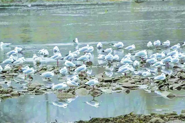 大批红嘴鸥首次光顾沁源县沁河湿地