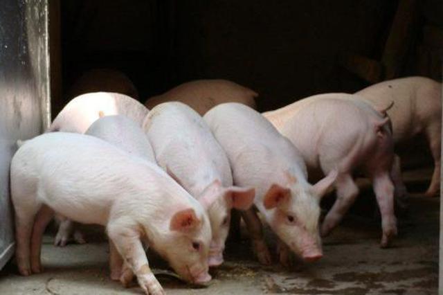 山西:非洲猪瘟疫区种猪等检测合格后可省内调运