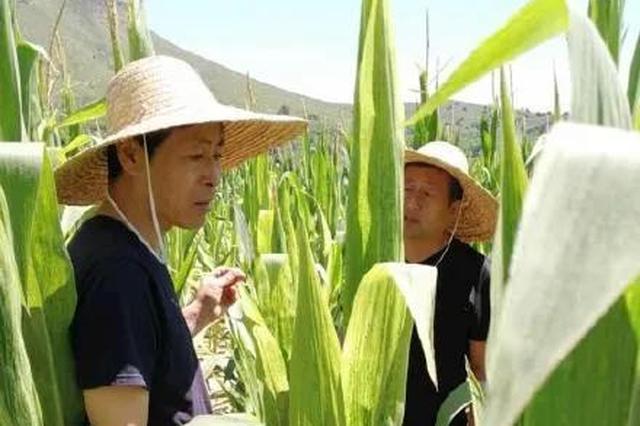 山西省昔阳县:玉米出病害 专家来支招