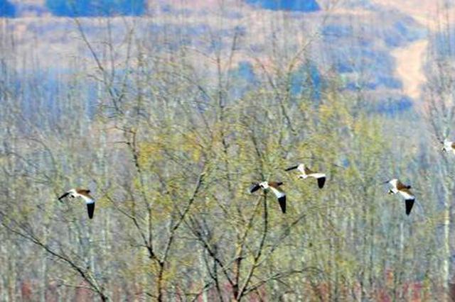 山西長治發現瀕危鳥類灰頭麥雞