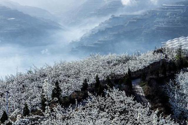 """山西隰县:千树梨花千树""""雪"""""""