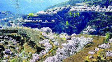 200亩杏花迎春盛开