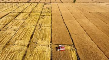 太原晋源区2000多亩水稻迎收割季
