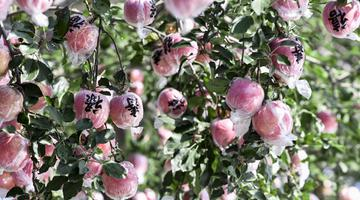 運城蘋果從臨猗果園到走出國門