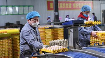 稷山县:小鸡蛋成致富大产业