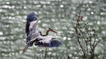 山西平陆:黄河岸边苍鹭舞