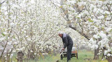山西运城:梨花开 引客来