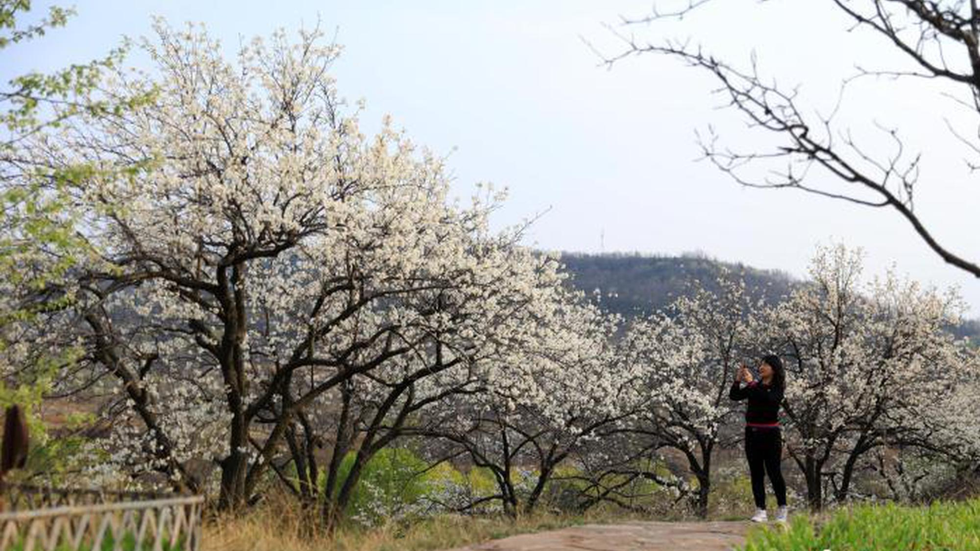 四月芳菲 山西长子梨花绽放白如雪