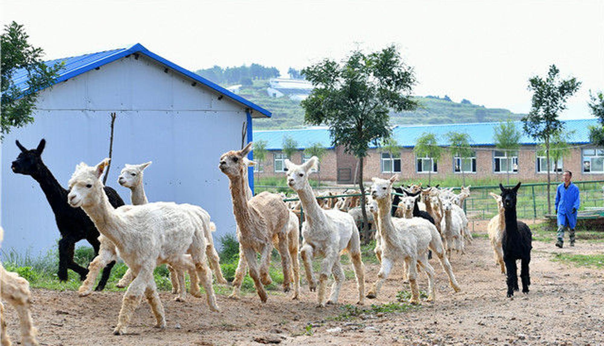 阳曲县坪里村:一个被羊驼改变的村庄