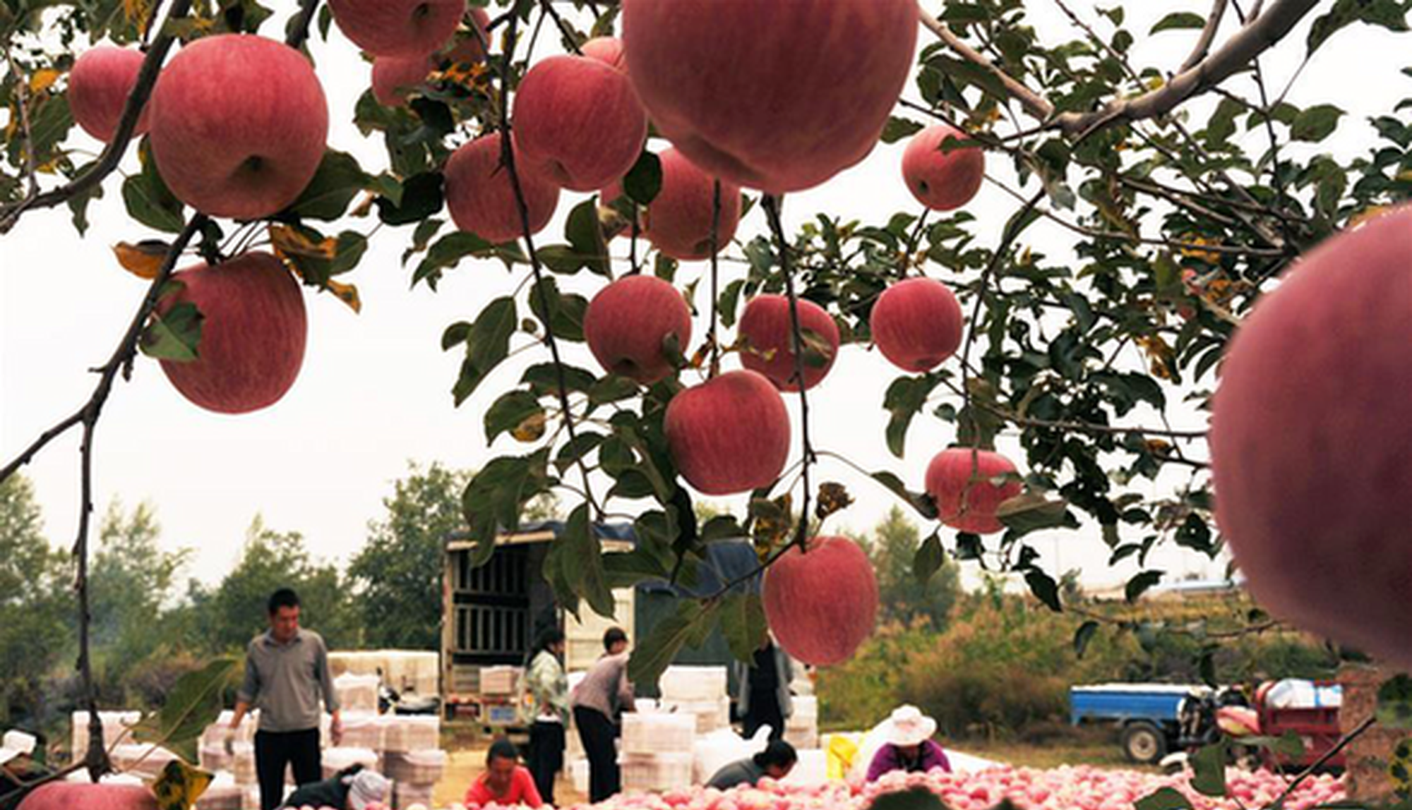 山西吉县八成以上贫困户依靠苹果脱贫