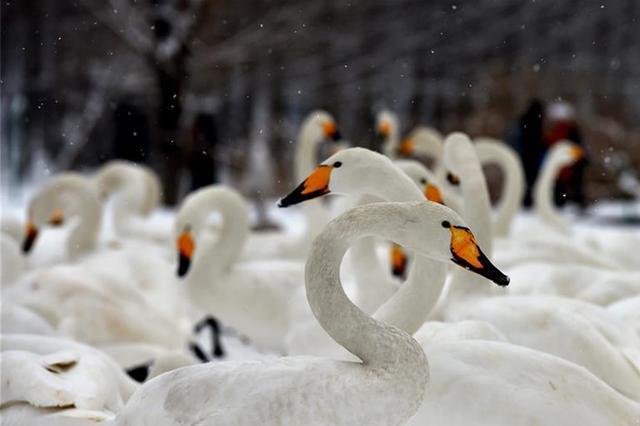山西平陆降雪影响天鹅觅食 当地全力保障食物充足