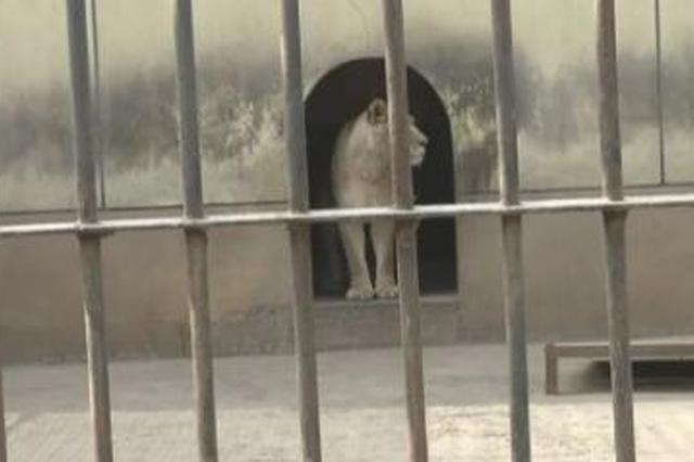 """网传动物园""""虐狮""""视频属误读 狮子患病正接受治疗"""