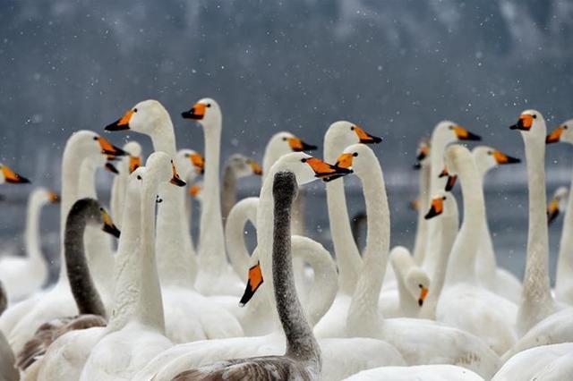 山西平陆黄河湿地现雪中天鹅舞