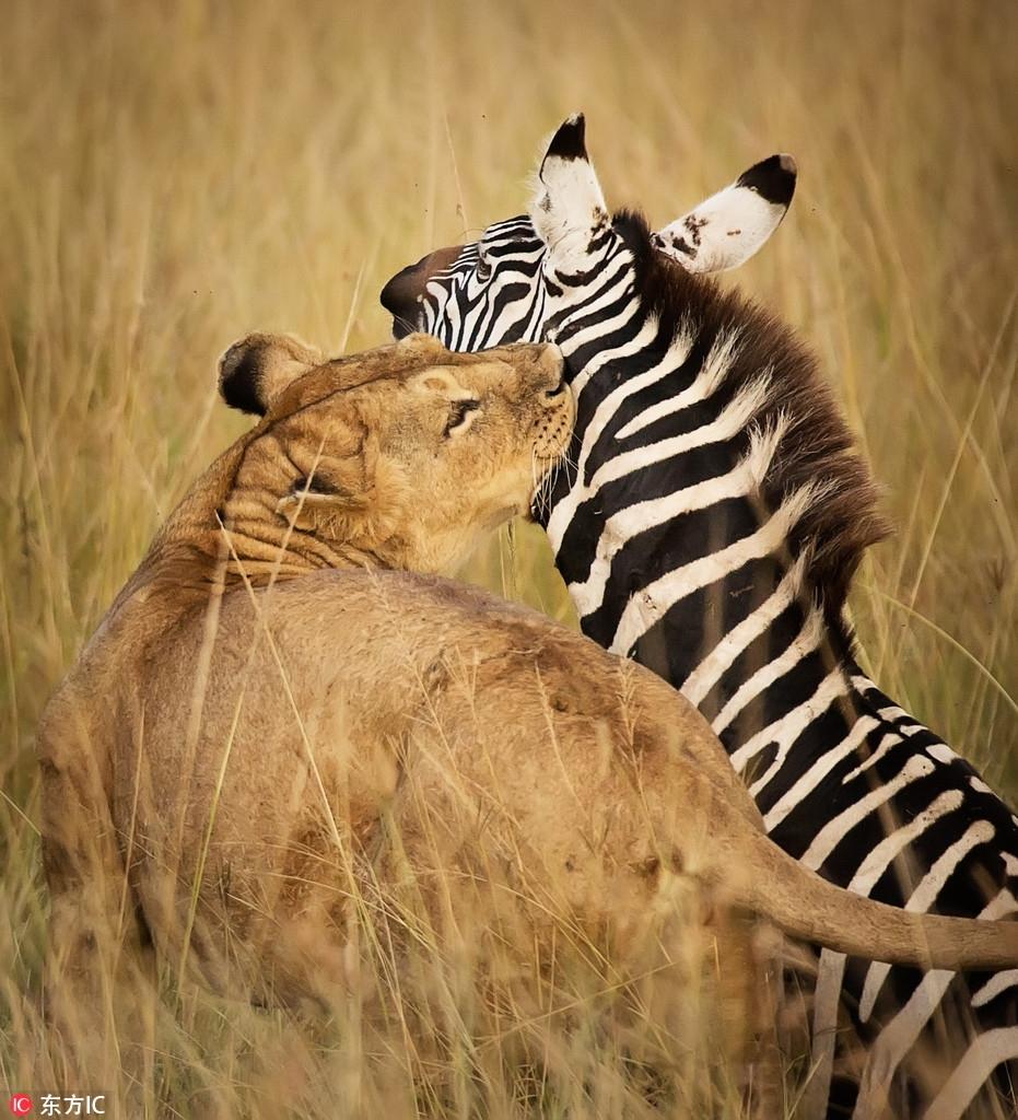 实拍肯尼亚母狮猎食斑马 抱脖锁喉瞬间致命