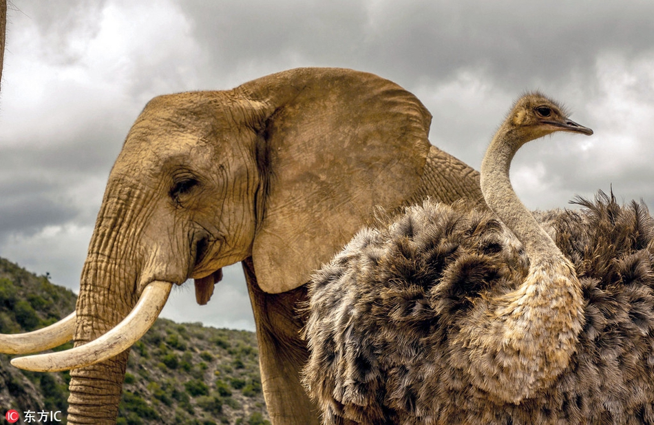 南非一鸵鸟混迹象群长大 跨种族的神奇友谊也是萌坏了