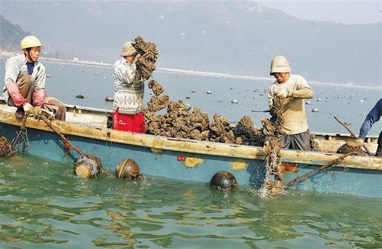 沙井蚝之所以格外光润、鲜黄肥美,是因其不寻常的养殖法。