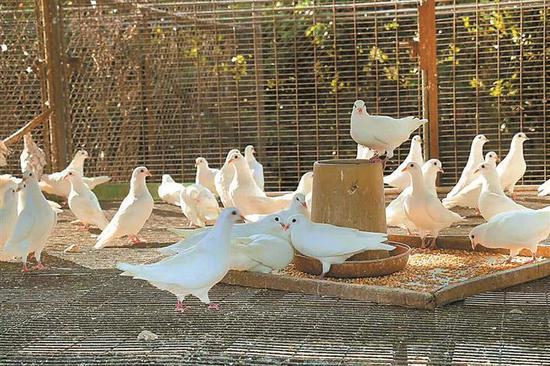 正在吃饲料的鸽子。