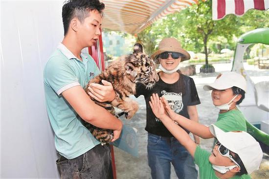 """7月29日是""""全球老虎日"""",深圳野生动物园育幼中心人工哺育的小老虎受到游客们的喜爱。 深圳商报记者 陈锡明 通讯员 李木生 摄"""