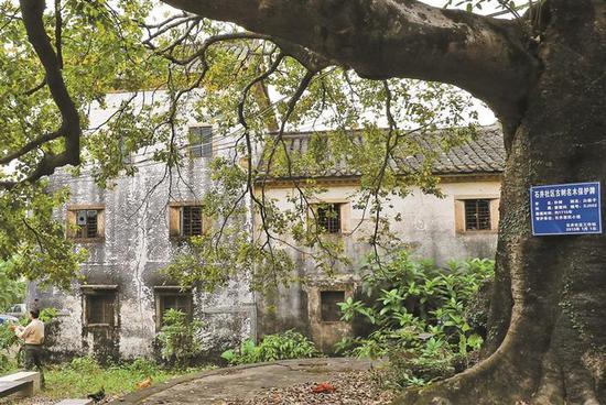 彭氏宗祠附近一棵300余年的白麻子古树依然婆娑盎然。本报资料图