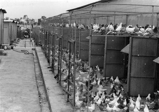 曾经的光明大宝鸽场乳鸽养殖基地。