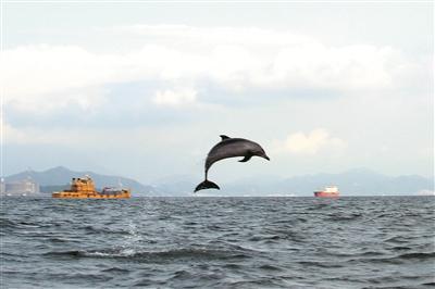 ▲海豚连续跃出水面,跳跃高度最高超过两米。深圳晚报记者 余俊杰 摄