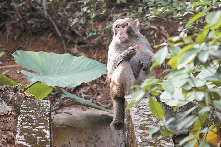 ▲梅林山公园内,一只猴子正在觅食。深圳晚报记者 杨少昆 摄
