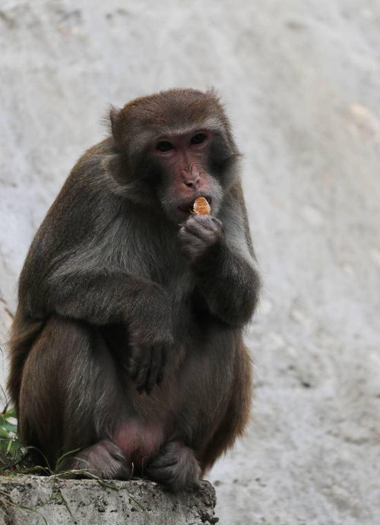 ▲猴子正吃着市民投放的食物。