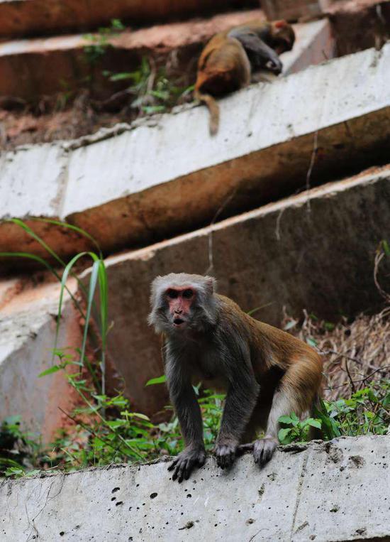 ▲猴子见到有游客,正准备从山上下来。
