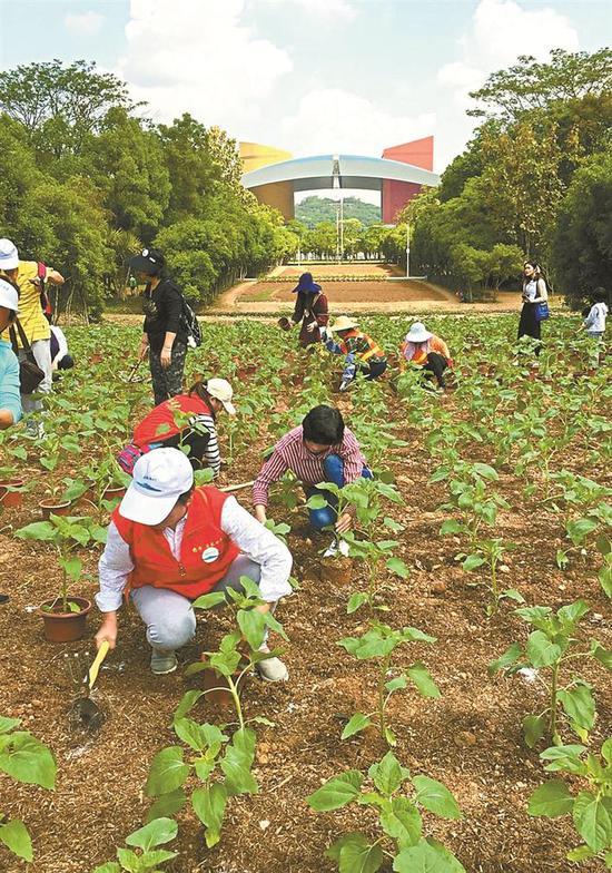 市民将盆里的向日葵苗移植到地里。 深圳晚报记者 陈龙辉 通讯员 崔嵩 摄