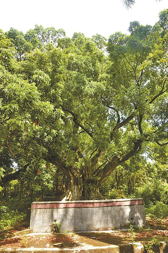 古树编号:44031000500200048,树龄370年,位于坑梓街道沙田社区李屋中村。受访单位供图