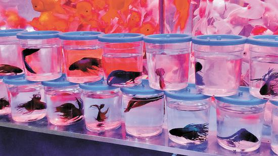 ▲在荷兰花卉小镇,一观赏鱼店售卖的斗鱼被整齐摆放在门口。 深圳晚报记者 李超 摄