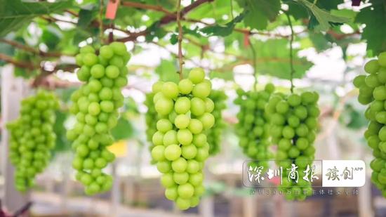 """光明区全省最大现代化葡萄园可产葡萄贵族""""阳光玫瑰"""""""