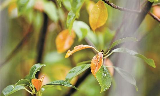 海漆树顶部椭圆形的树叶由绿变黄再变红。 本版摄影 深圳商报记者 谭彪