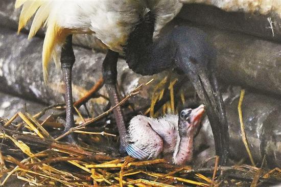深圳野生动物园一周前自然孵化出壳的一只圣鹮宝宝在亲鸟的悉心照顾下,健康又活泼。