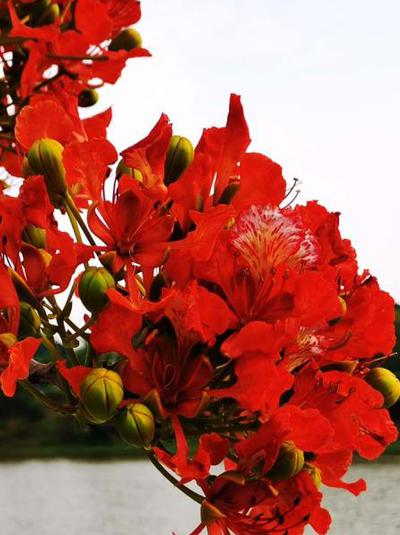 鹏城凤凰树 花开红似火