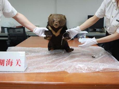 深圳口岸截获黑熊宝宝标本