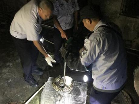 """深圳惊现2米长的蟒蛇 偷吃鸡还""""赖着""""不走"""