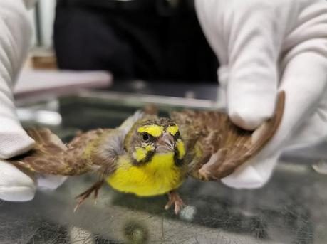 旅客用饼干盒携带70余只活鸟过关被识破 皆为黄额丝雀