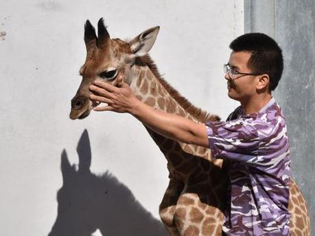 """深圳野生动物园饲养员当""""奶爸""""喂养长颈鹿宝宝"""