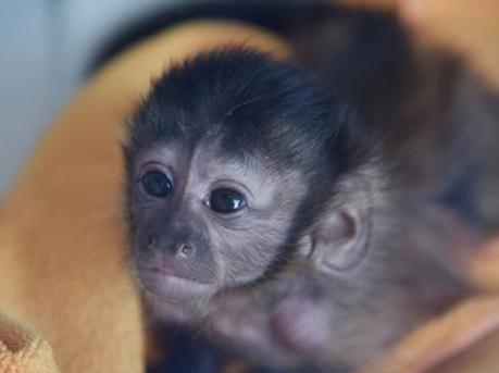 深圳野生动物园首次人工喂养黑帽悬猴