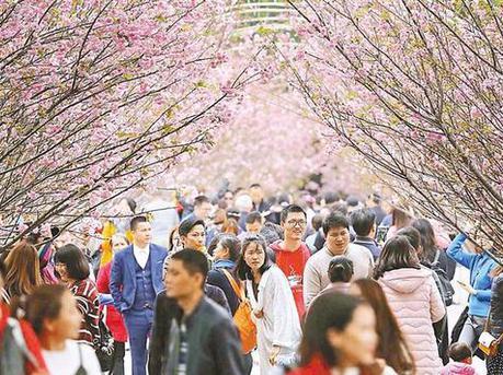 观澜湖樱花节大年初一迎客 千株樱花迎春绽放