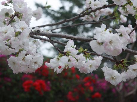 深圳市民踏春赏樱花
