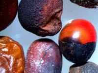 东莞首查获致命相思豆 世界上毒性最强植物前五强