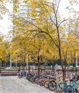 春天就要到了 深圳街头的树叶却变黄掉落了