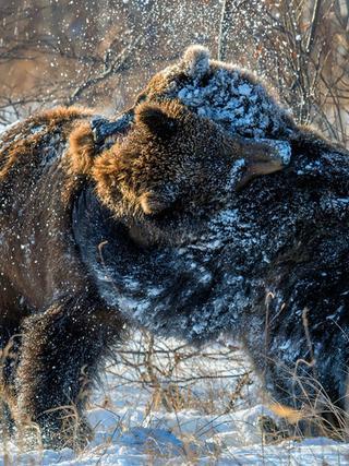 棕熊雪地上演精彩摔跤比赛:原来只是玩闹